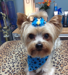 Yorky with blue bow and scarf, on leopard print bed.