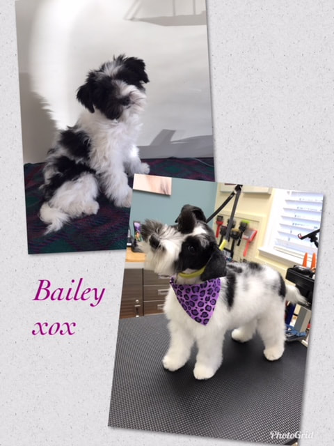 Before & after of schnauzer puppy's first groom.
